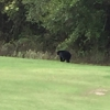 Nov 5 2015 bear sighting
