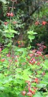 Salvia coccinea Scarlet Sage, a burst of summer color